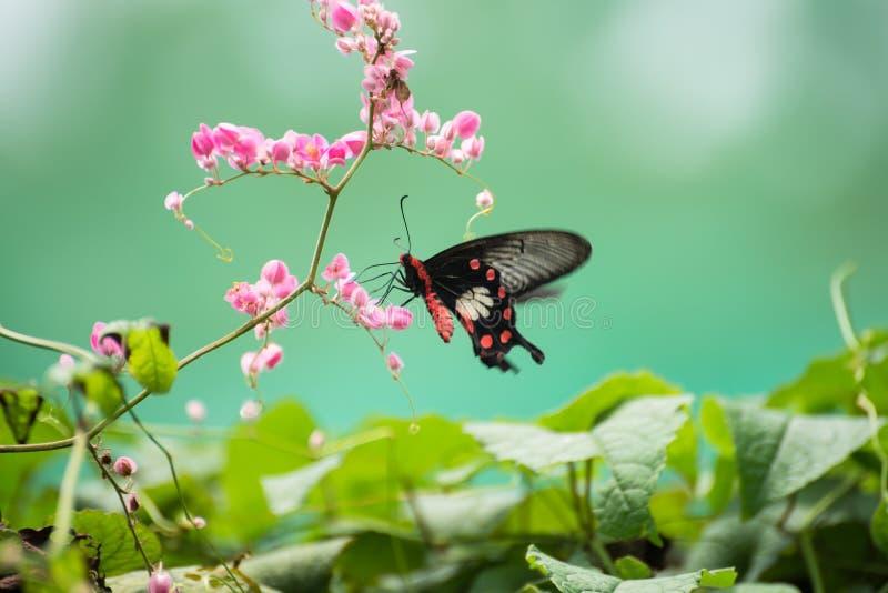 La mariposa común de Rose Swallowtail en las flores rosadas se cierra para arriba fotos de archivo