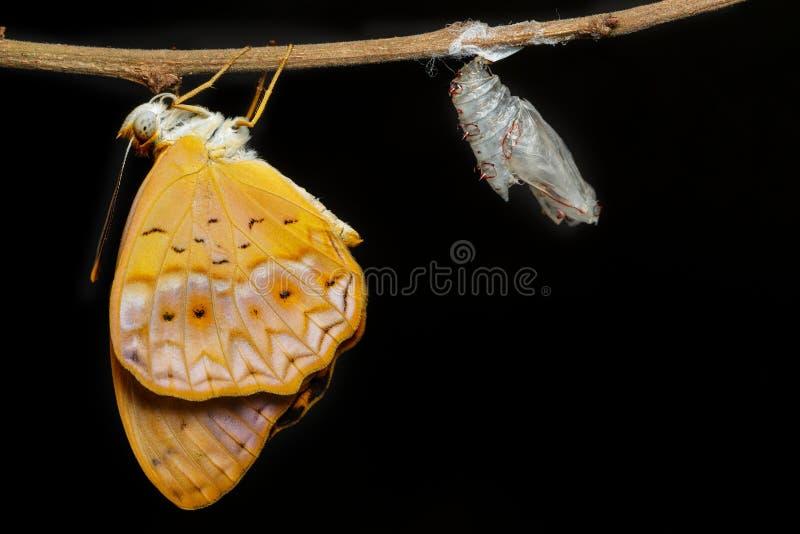 La mariposa común del leopardo de la hembra emergió del capullo imagen de archivo libre de regalías