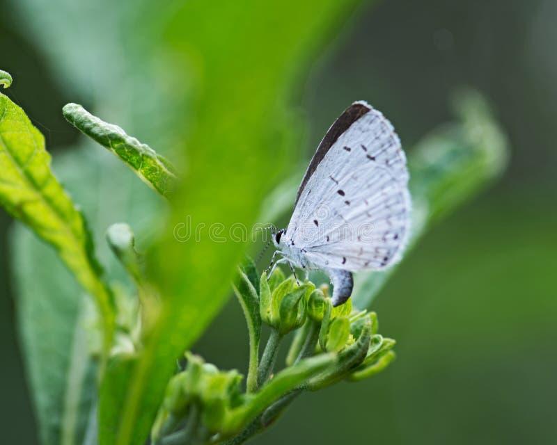 La mariposa de Holly Blue que pertenece a los lycaenids o a los azules familia y es nativa a Eurasia y a Norteamérica fotos de archivo