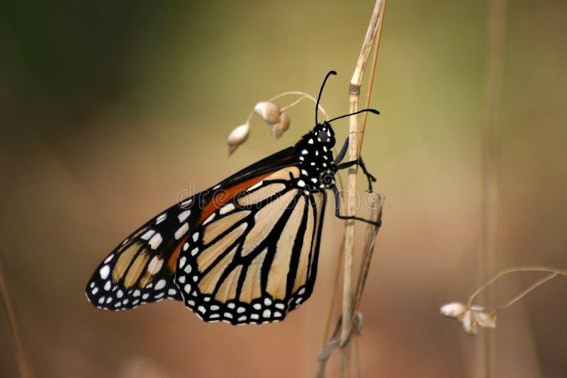 La mariposa de monarca foto de archivo libre de regalías