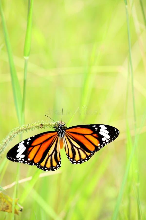 La mariposa de monarca joying con su alimento fotos de archivo