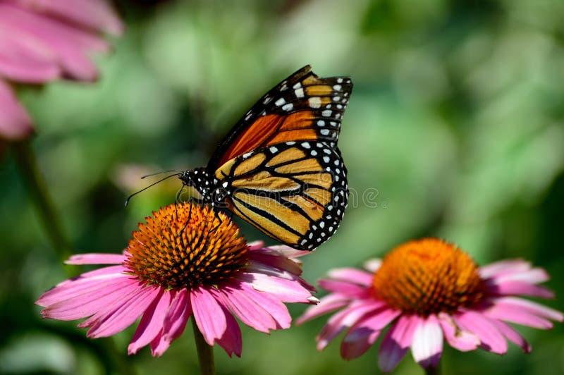 La mariposa de monarca, Milkweed, tigre común, vagabundo, ennegrece a Brown veteado en coneflower fotos de archivo libres de regalías