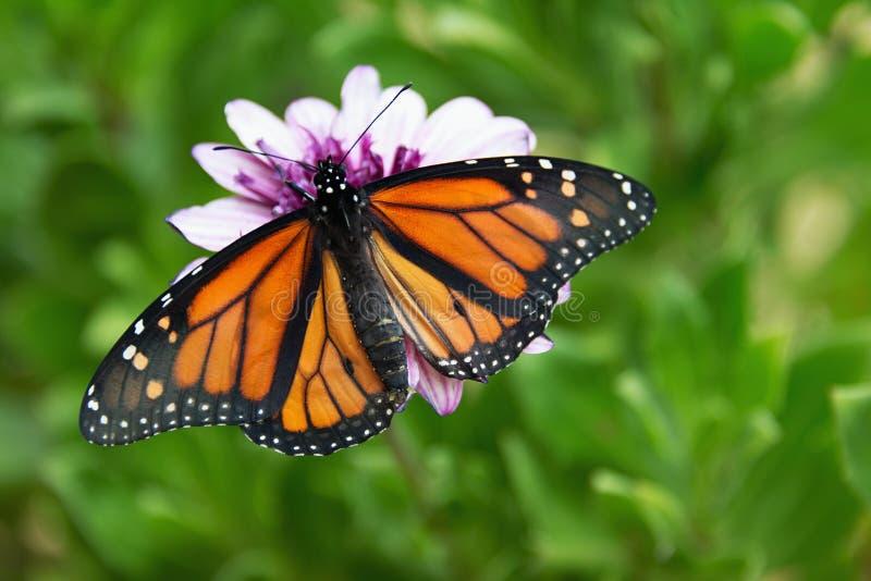 La mariposa de monarca se está sentando en una flor fotografía de archivo libre de regalías