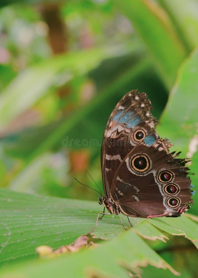 La mariposa de pavo real en la hoja verde cerró las alas fotografía de archivo libre de regalías