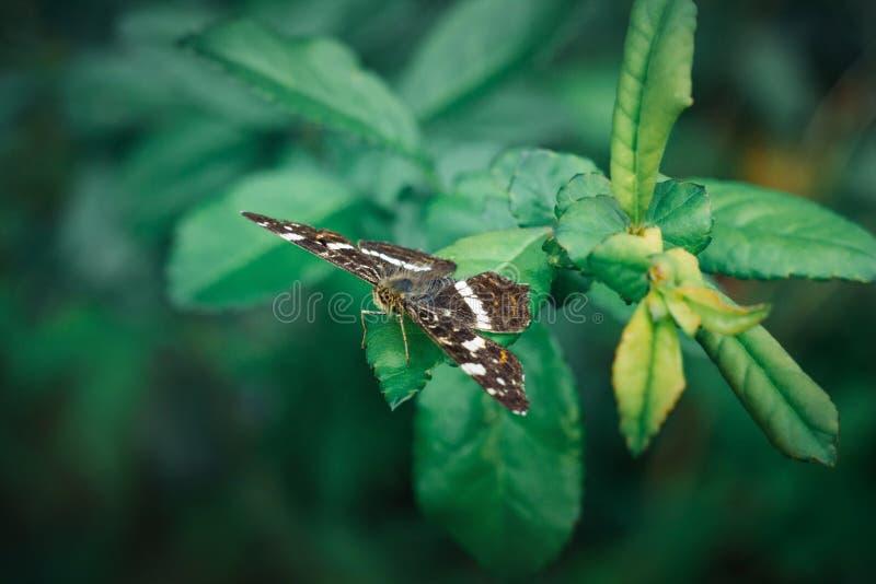La mariposa del mapa o el levana de Araschnia se sienta en una hoja verde en un fondo borroso Una mariposa hermosa con marr?n abi fotos de archivo libres de regalías