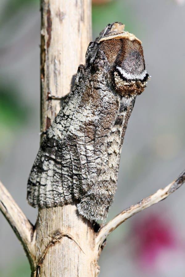 La mariposa del taladro del pasto foto de archivo