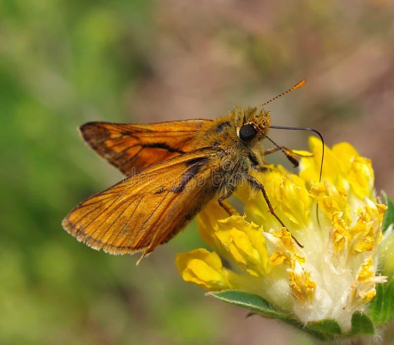 Download La mariposa en la flor foto de archivo. Imagen de amarillo - 7278358