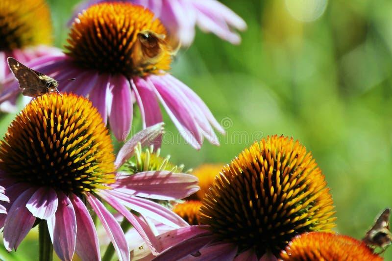 La mariposa está zumbando alrededor de las flores foto de archivo libre de regalías