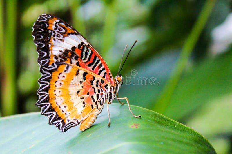 La mariposa hermosa en verde se va en jardín de la naturaleza fotos de archivo