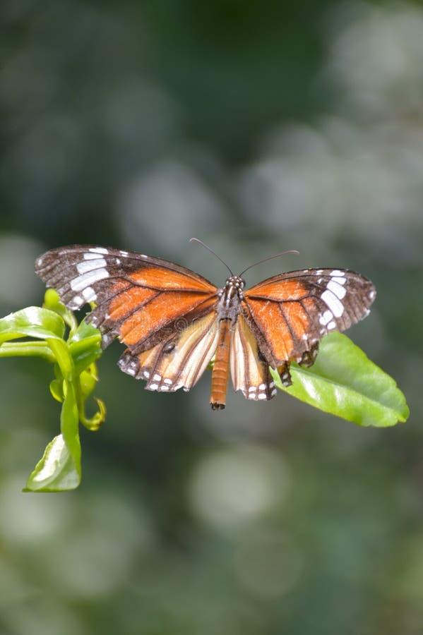 La mariposa hermosa en verde se va en jard?n de la naturaleza imagen de archivo
