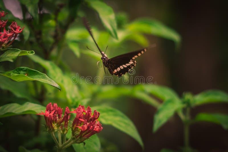 La mariposa hermosa está volando foto de archivo libre de regalías