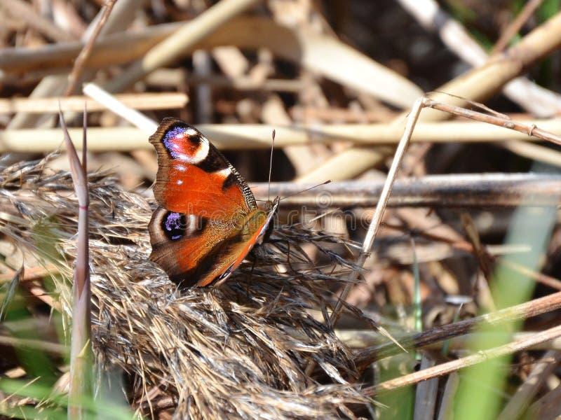 La mariposa hermosa se sienta en troncos de lámina secos imagenes de archivo