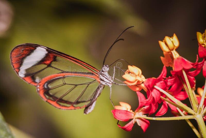 La mariposa imponente imagen de archivo libre de regalías
