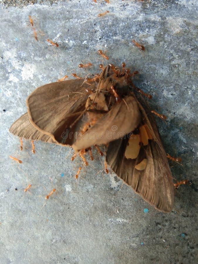 La mariposa invadió por la hormiga imágenes de archivo libres de regalías