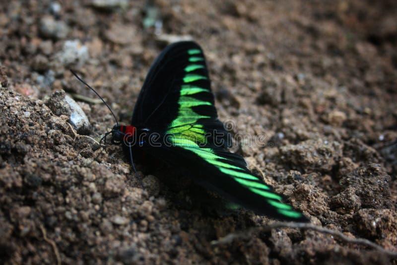 La mariposa malasia exótica y el x22 verdes, rojos y negros; Rajá Brooke& x27; s Birdwing& x22; o y x22; Brookiana& x22 de Trogon imagen de archivo libre de regalías