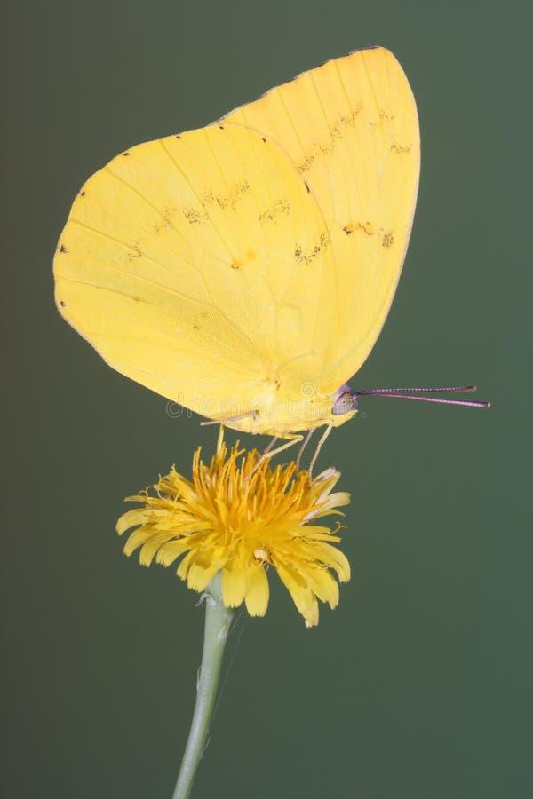 La mariposa migratoria amarilla se encaramó en una flor del diente de león con las alas cerradas imagen de archivo libre de regalías