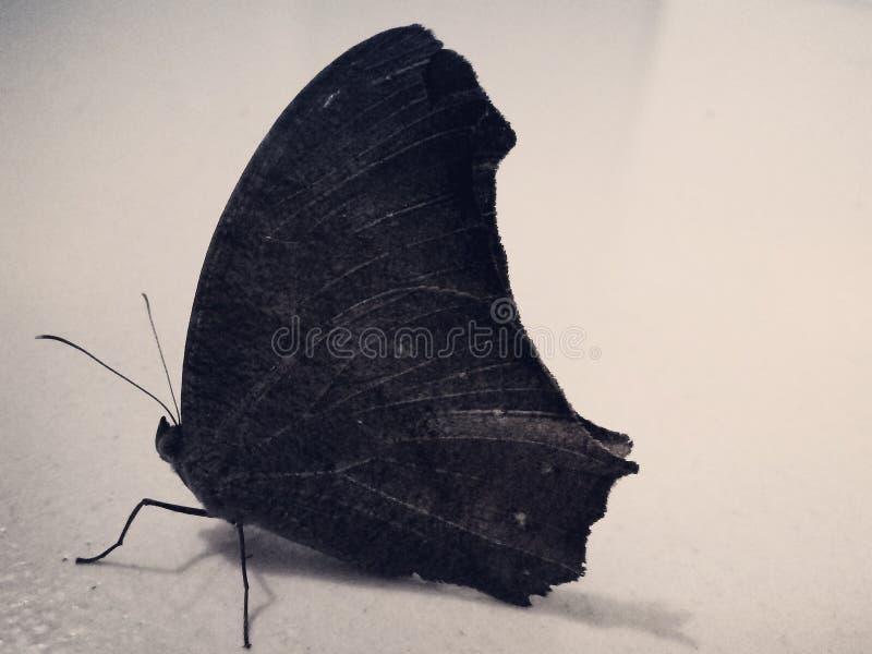 La mariposa negra foto de archivo