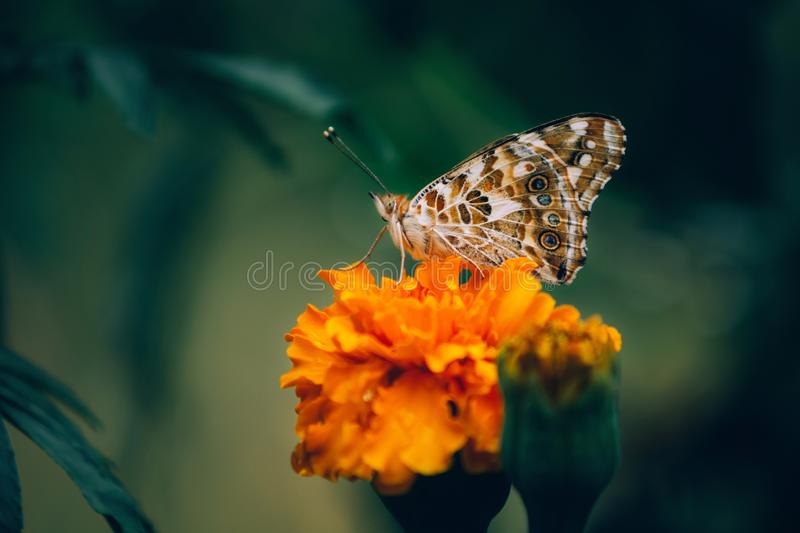 La mariposa pintada de la señora, cardui de Vanesa, adulto en maravillas anaranjadas de los tagetes florece en verano foto de archivo