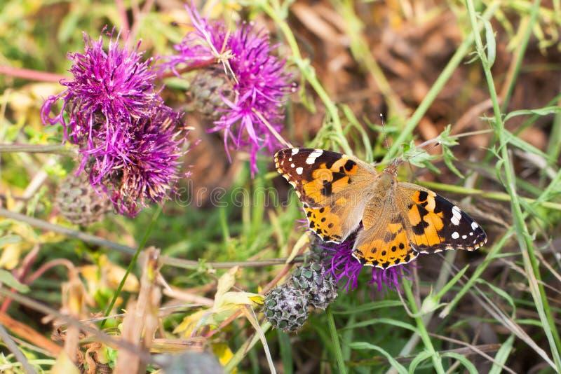 La mariposa pintada de la señora se sienta en la opinión superior floreciente del cardo del primer púrpura de la flor, cardui de  fotografía de archivo
