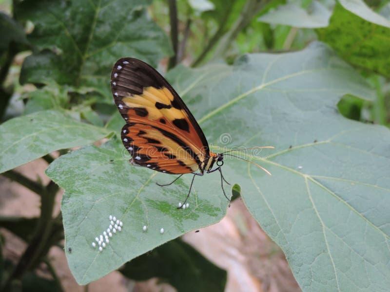 La mariposa que se sienta en una hoja, poniendo eggs foto de archivo libre de regalías
