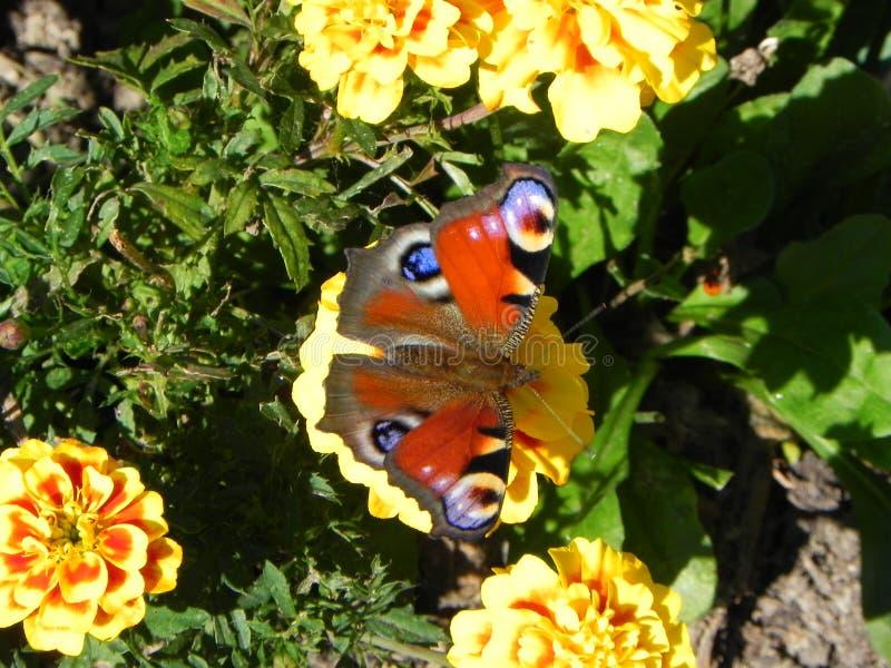 La mariposa revel? sus alas Insecto hermoso en un d?a de verano Detalles y primer foto de archivo