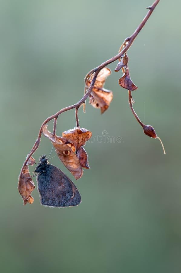 La mariposa Satyrinae conocido comúnmente como los marrones fotos de archivo