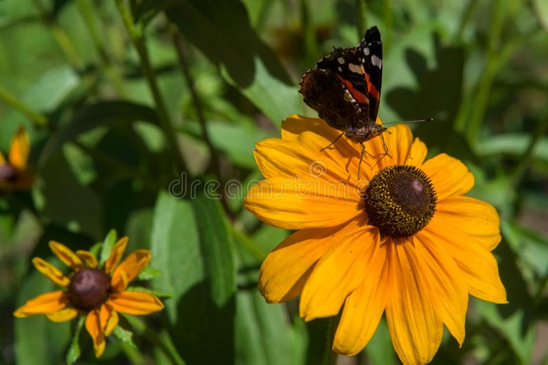 La mariposa se sienta en un summerina del Rudbeckia de la flor fotografía de archivo libre de regalías