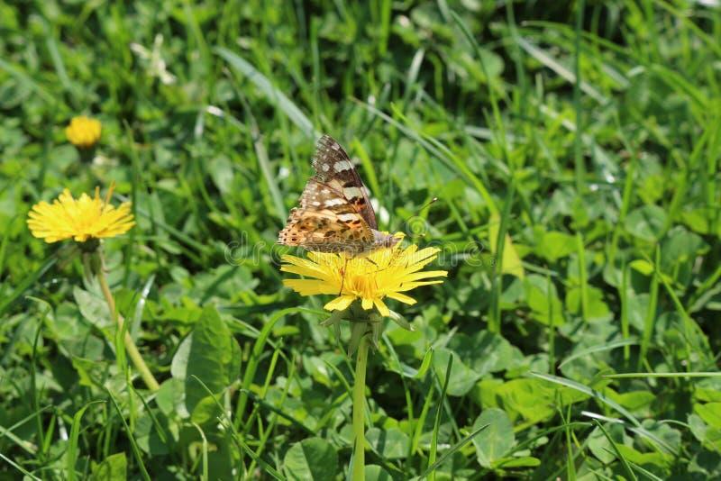 La mariposa se sienta en una flor amarilla del diente de león imagen de archivo libre de regalías