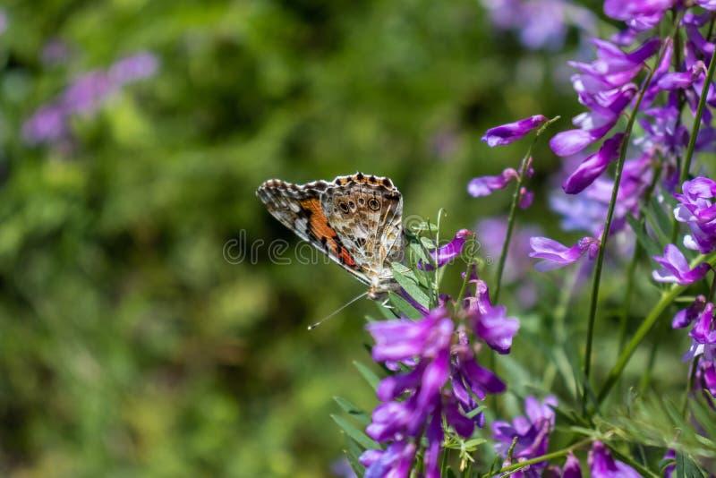 La mariposa se sienta en una pequeña flor púrpura foto de archivo