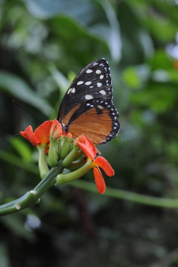 La mariposa toma el lugar central mientras que bebe el néctar imagen de archivo