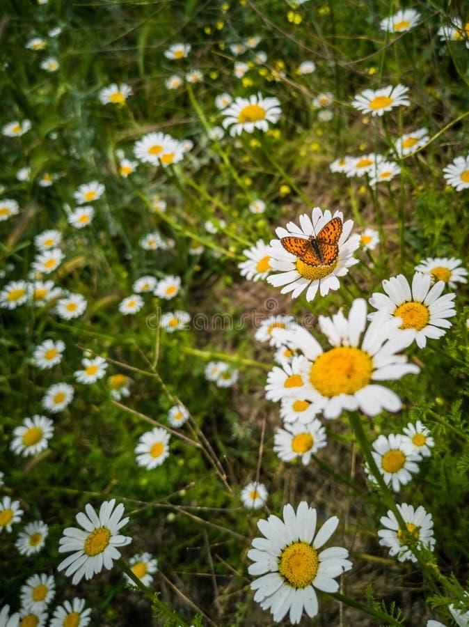 La mariposa y los campos de flores imágenes de archivo libres de regalías