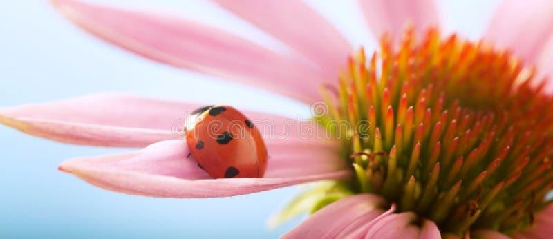 La mariquita roja en la flor del Echinacea, mariquita se arrastra en el tronco de la planta en primavera en jardín en verano imagen de archivo libre de regalías
