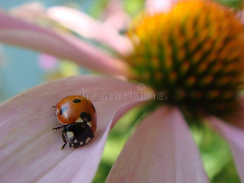 La mariquita roja en la flor del Echinacea, mariquita se arrastra en el tronco de la planta en primavera en jard?n en verano Flor imagen de archivo libre de regalías