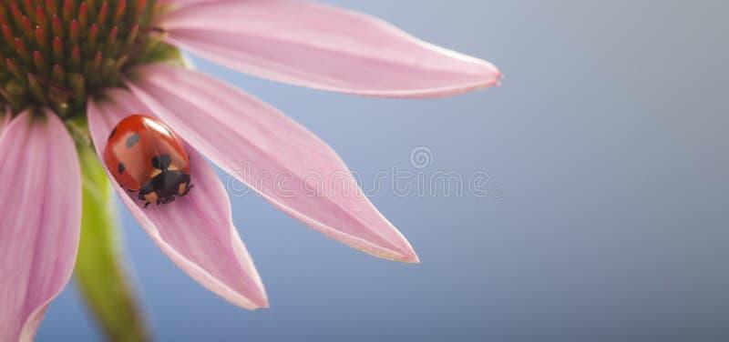 La mariquita se arrastra en el tronco de la planta, mariquita roja en flowe del Echinacea imagenes de archivo