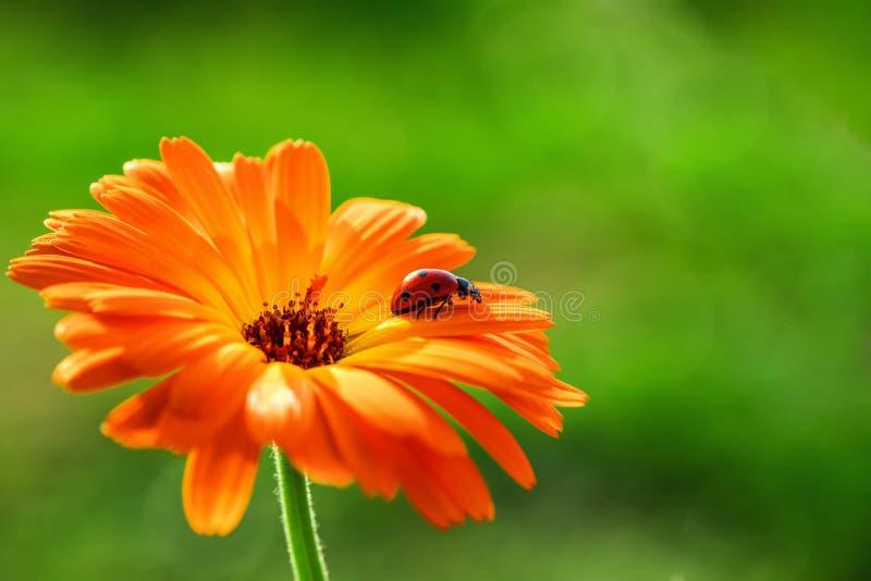 La mariquita y el gerbera anaranjado florecen en el sol contra hierba imagen de archivo