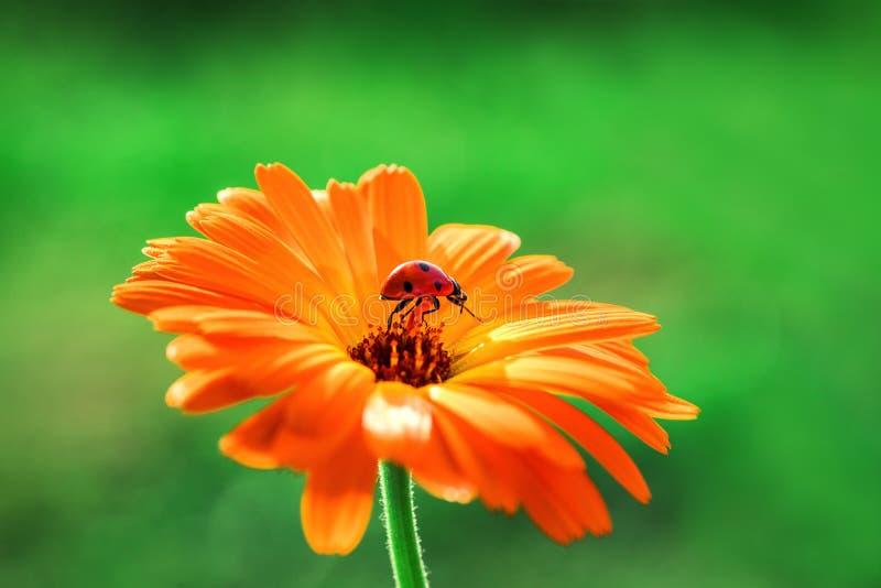 La mariquita y el gerbera anaranjado florecen en el sol contra hierba fotografía de archivo libre de regalías