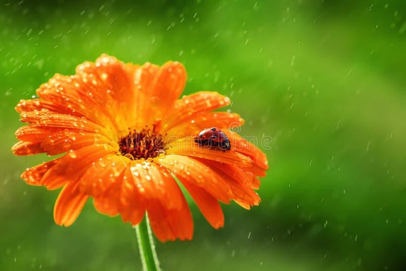 La mariquita y el gerbera anaranjado florecen en el sol contra hierba raining fotos de archivo libres de regalías