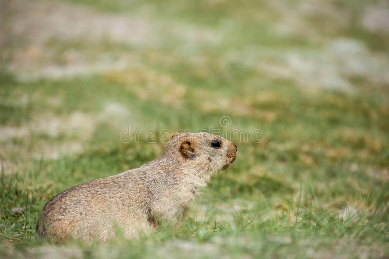La marmotta himalayana fotografia stock