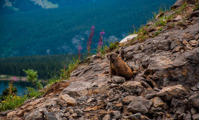 La marmotta selvaggia con i fiori della primavera della montagna fotografia stock