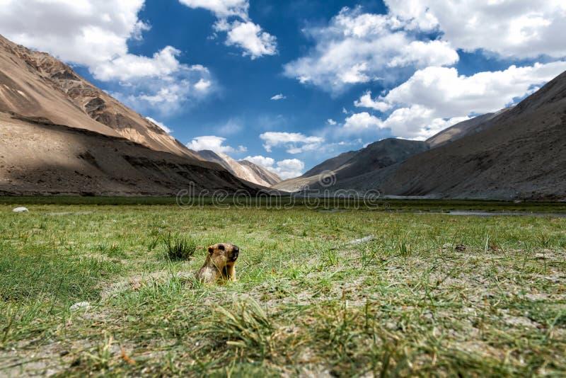 La marmotte sort du trou dans le domaine d'herbe images libres de droits