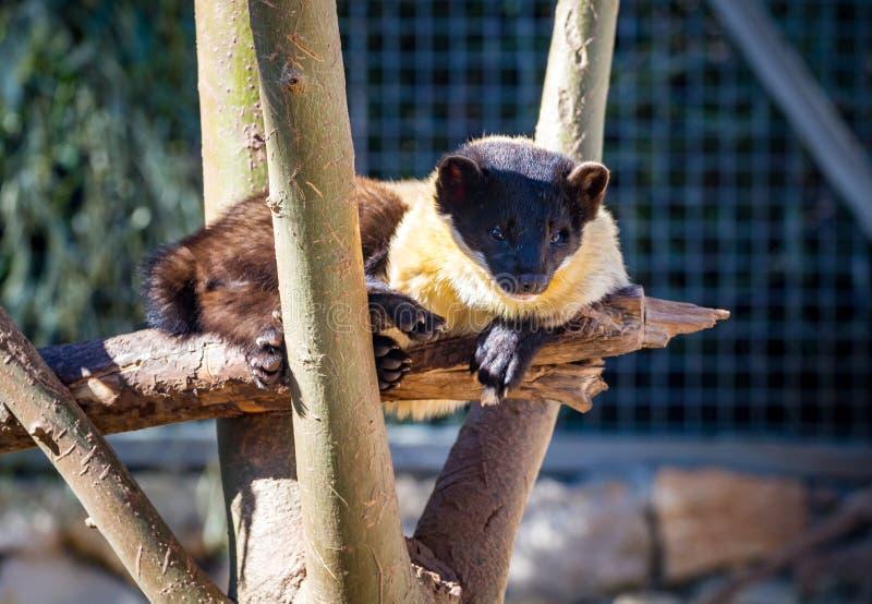 La marta Amarillo-throated, parque zoológico bíblico de Jerusalén en Israel imagen de archivo libre de regalías