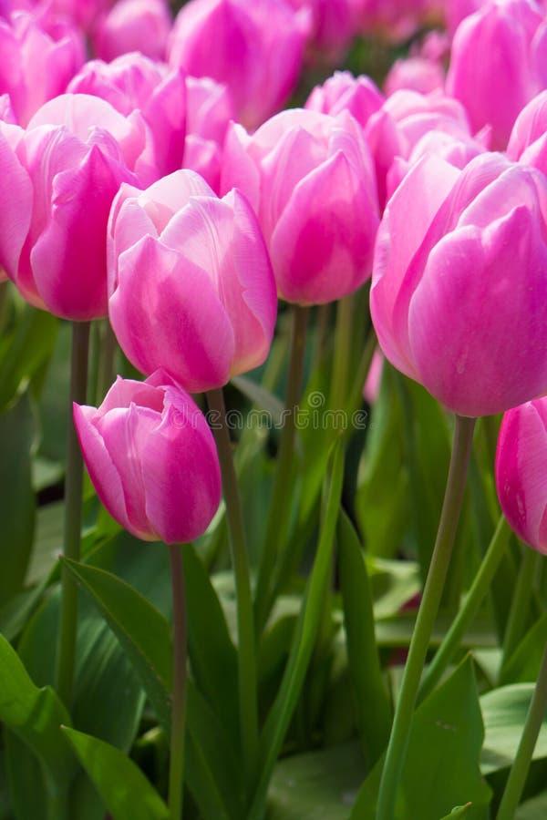 La masse des tulipes roses image stock