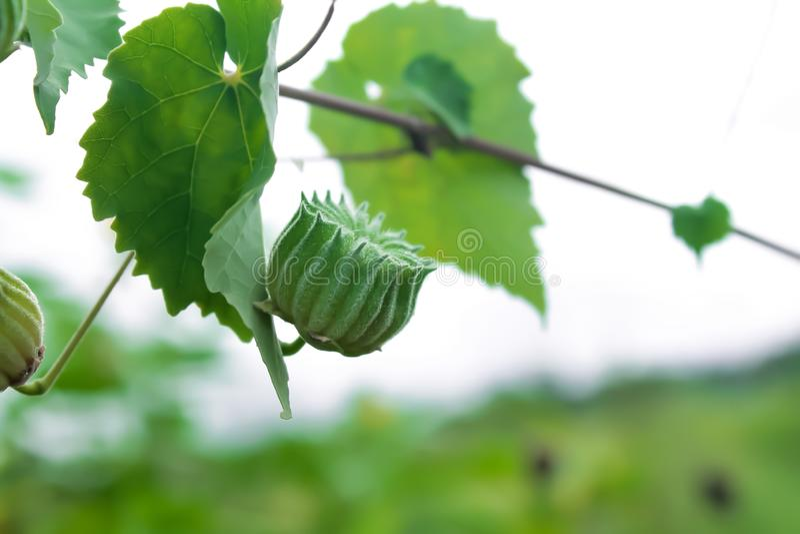La mauve de pays est une plante médicinale employée pour traiter beaucoup de maladies photographie stock