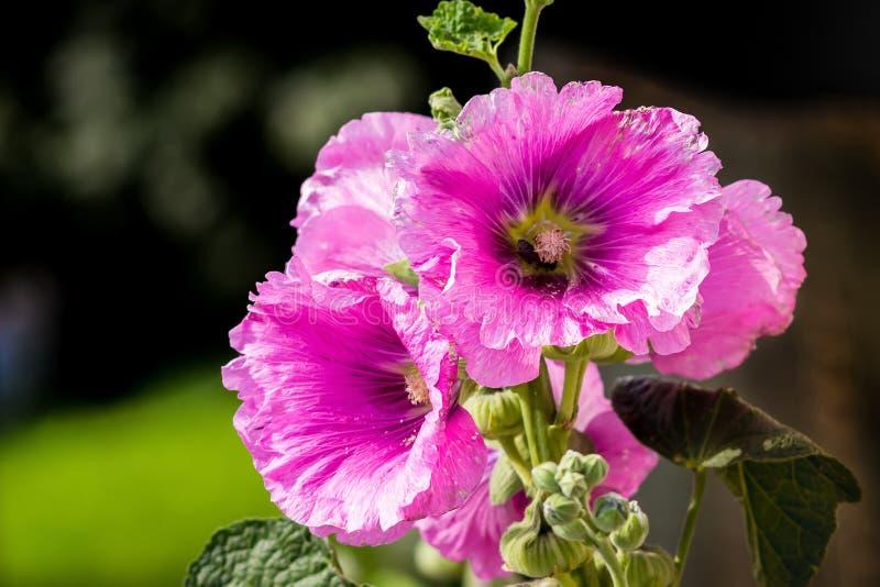 La mauve rose fleurit le plan rapproché sur un day_ ensoleillé d'été images libres de droits
