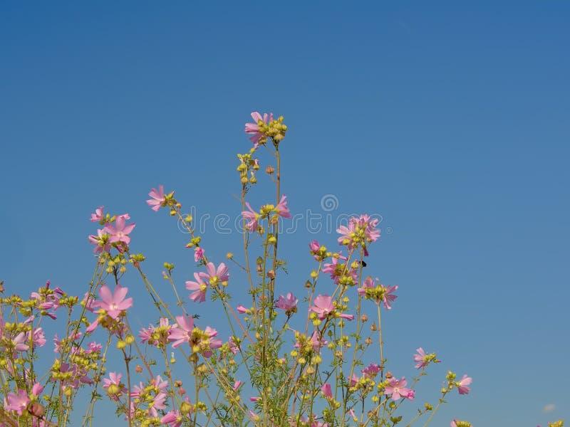 La mauve rose fleurit sur un fond de ciel bleu photo libre de droits