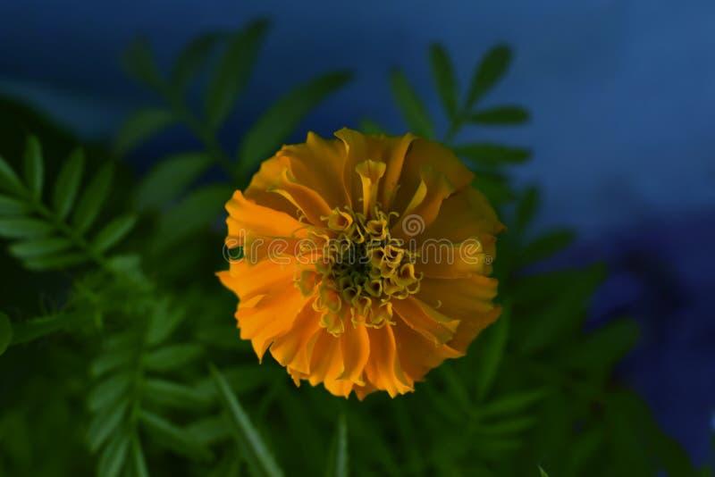 La mayoría de la flor querida fotos de archivo libres de regalías