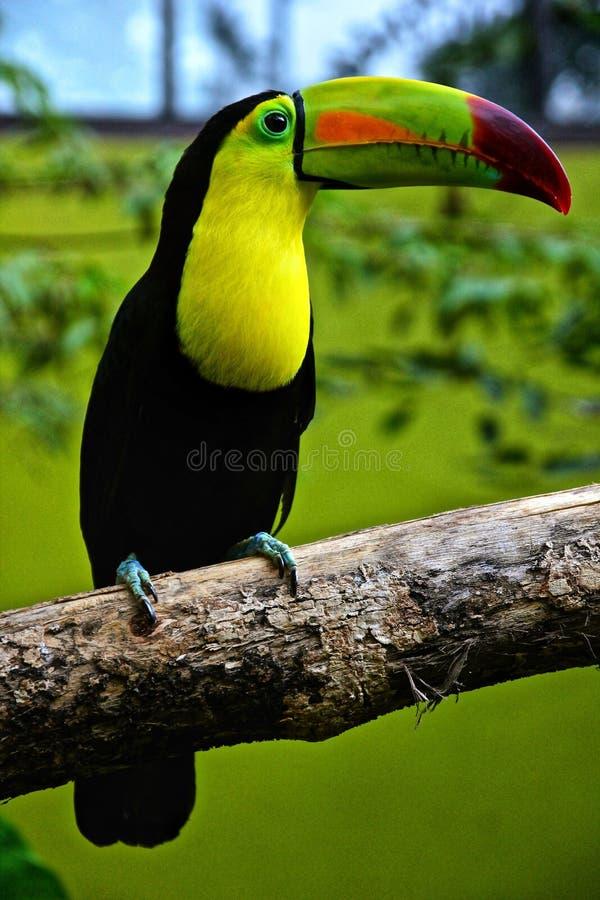 La mayoría del loro verde del muelle del árbol de los pájaros hermosos imagenes de archivo