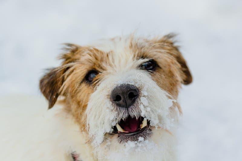 La mayoría del perro sonriente gay en el mundo Jack Russell Terrier, emociones y alegría imágenes de archivo libres de regalías