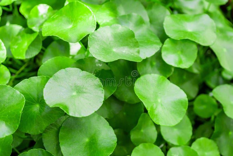 La medicina di erbe lascia il fondo della natura di Centella asiatica immagine stock libera da diritti