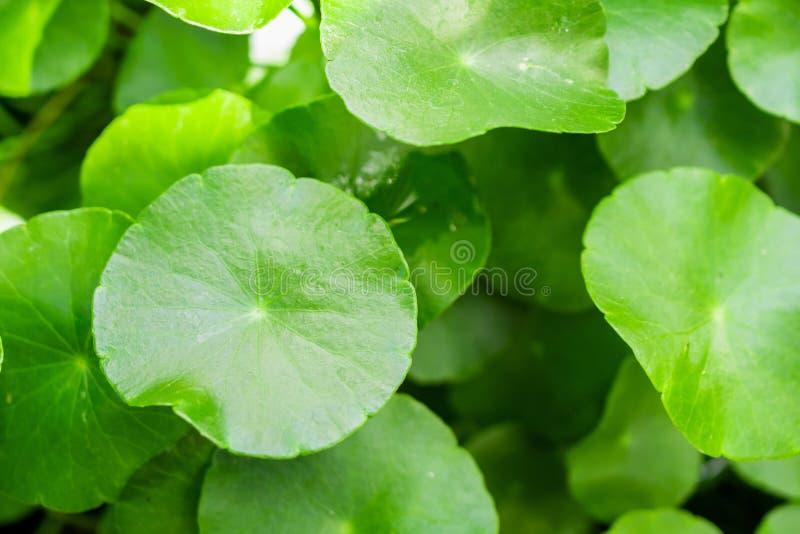 La medicina di erbe lascia il fondo della natura di Centella asiatica immagini stock libere da diritti